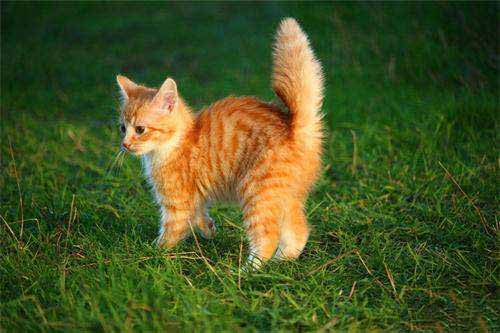 3.勤给猫咪梳理毛发   猫咪得毛球症,主要是因为它的舌头上有倒刺,猫咪平常用舌头梳理毛发的时候,很容易把毛发吃进肚子里,猫主人有时间的时候,就准备好给猫咪梳毛用的梳子,顺着猫咪毛发生长的方向梳,梳通打结的毛发,拿走梳子上掉落的死毛,平时给猫咪喂饭的时候,