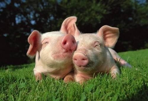 农村自家喂养的猪出现了黄膘肉,黄膘的猪肉,能不能吃呢