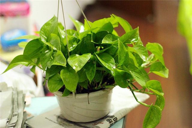 绿萝熬过盛夏,却挂在凉爽的秋季 注意这4点绿萝依旧叶绿根壮