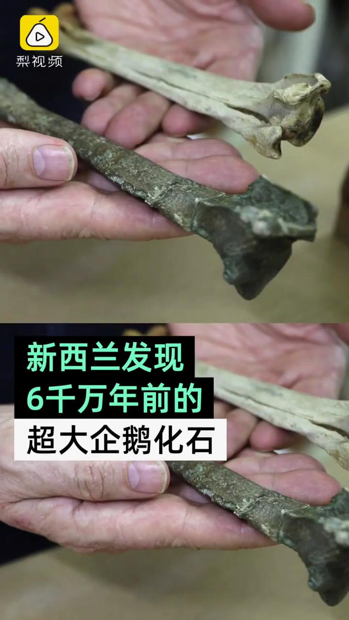 #新西兰发现超大企鹅化石#,生活于6000万年前,和人一样高!