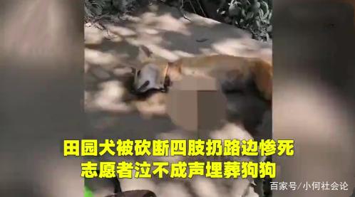 田园犬被砍断四肢扔路边惨死,志愿者哭泣埋葬:这是专业的人砍的