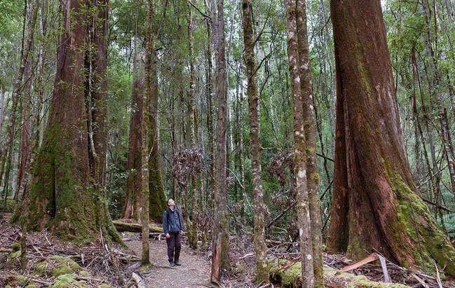 【奇闻轶事】天下上最下的树种 好国黑杉均匀下度115米