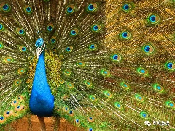 科学美国人60秒 | 雄孔雀用冠毛抖动打动雌孔雀