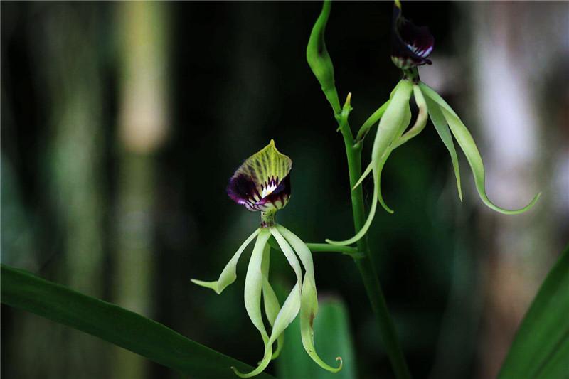 世界上最活潑的蘭花,花形像章魚,唇瓣像扇貝,與海賊王有啥關系