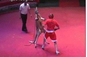 搞笑GIF趣图:和袋鼠打拳击,别说对手了,连教练都打!