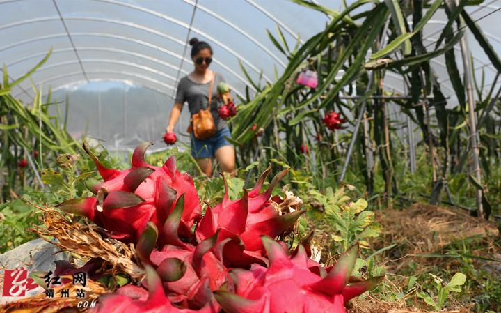 靖州:火龙果种植助农增收