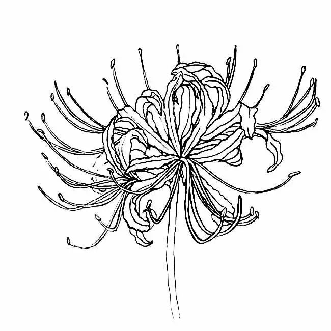 彼岸花简笔画图片 彼岸花植物花简笔画步骤图片大全 简笔画