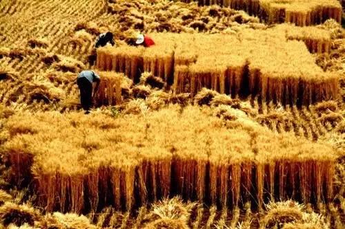 广饶人20年前,是这样割麦的——致广饶农村人的青春!