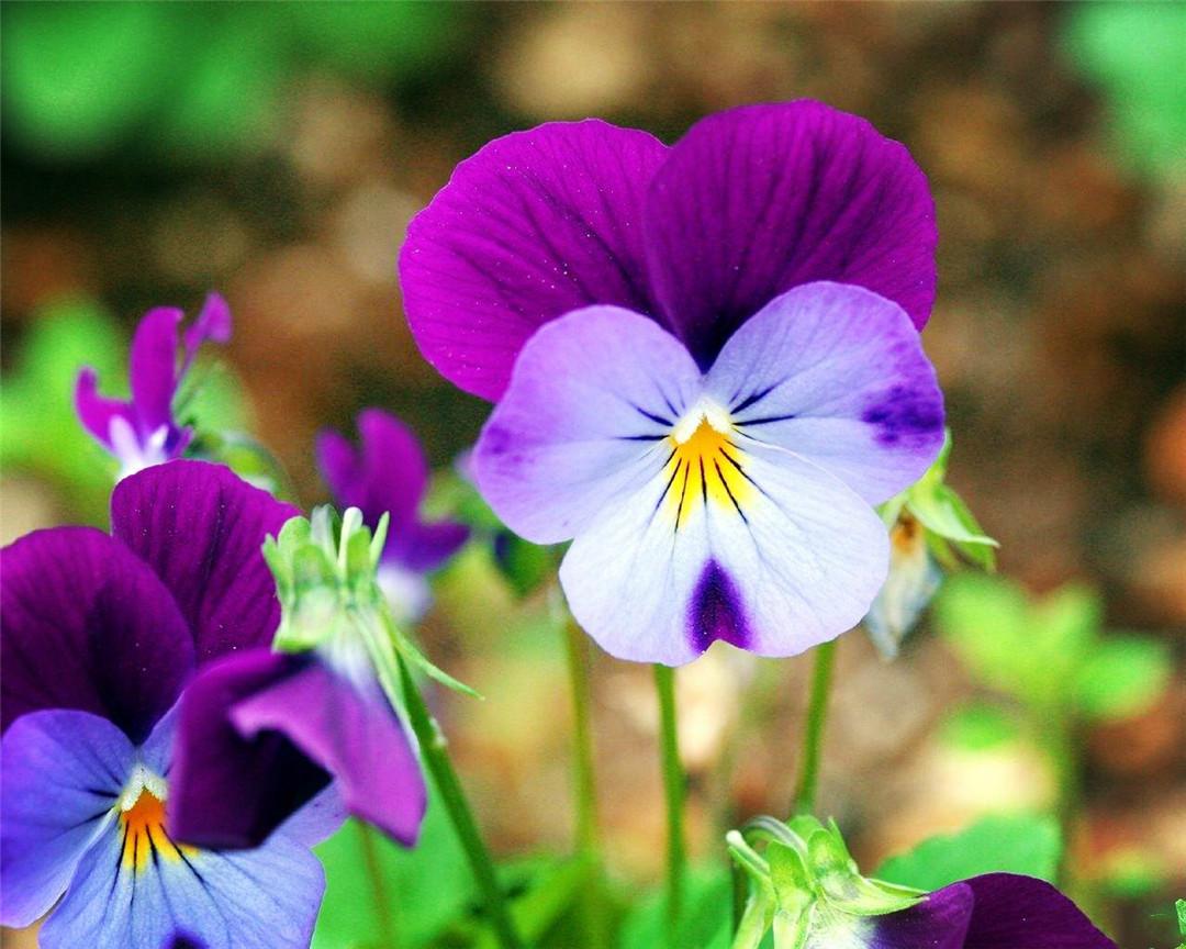 世界上最呆萌可愛的花,像小花貓扮鬼臉,為何花瓣都有三種顏色