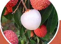 南国四大果品之一荔枝 什么样的环境比较适宜荔枝呢?