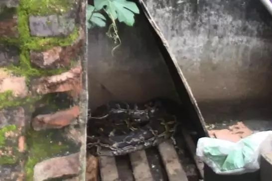 惊!南安一居民家中惊现52斤大蟒蛇、安溪也抓到一只40多斤的……