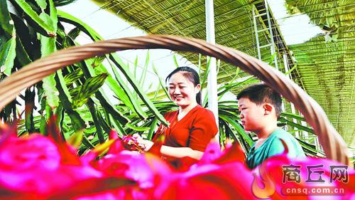 夏邑县太平镇龙河湾社区居民在采摘火龙果
