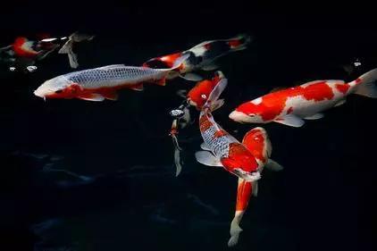 锦鲤鱼最常见的8种死法,第三种你根本就想不到