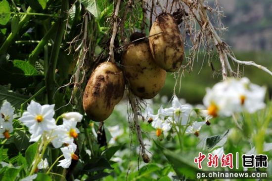 甘肃定西黄土塬:初秋时节洋芋花开兆丰年