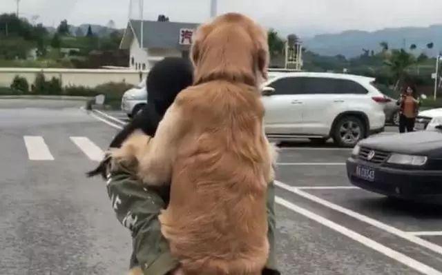 大金毛出门容易回家难,遛狗还可以这样,金毛:谁还不是