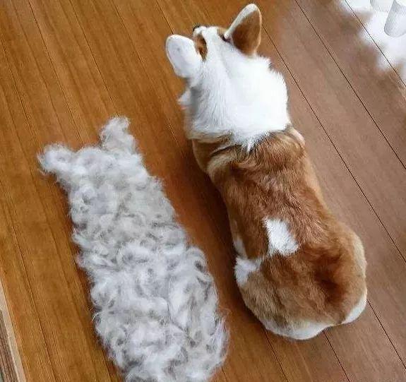 【荐读】狗狗掉毛的原因都有哪些呢?不是所有的掉毛都是正常的哦~