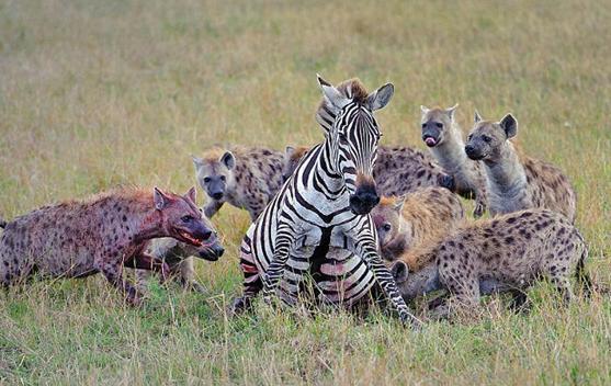 斑马分娩的血腥味引得鬣狗疯狂啃食,咬开肚子一口叼出小斑马