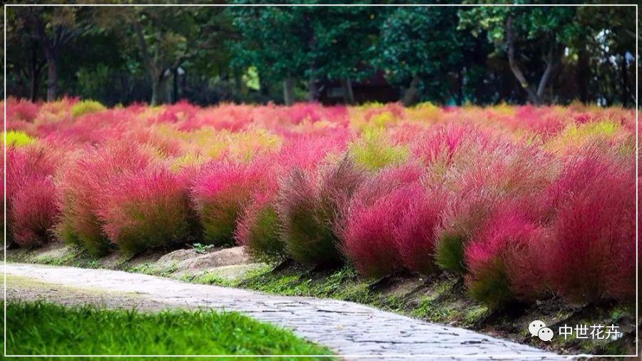 中世花卉好物精选丨真正的网红观赏草!红叶地肤来了!图片