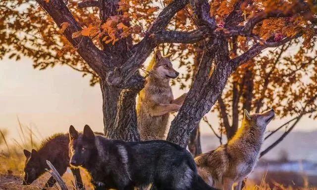 藏獒混入狼群一年成狼王,每天却护住第一口肉,孝敬老狼王