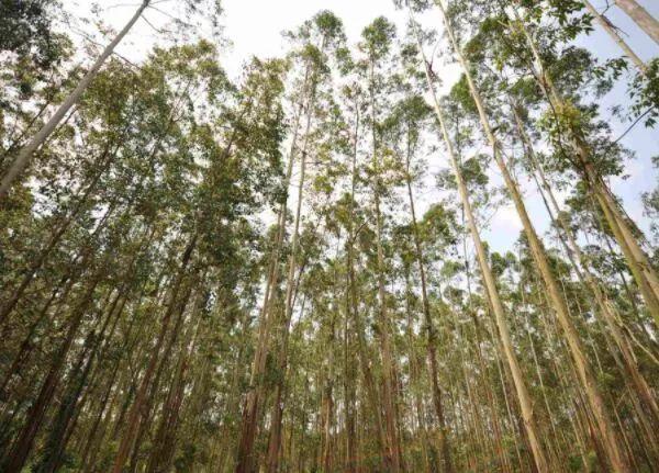 【奇闻轶事】天下上最陈腐的树 活了9500年却只要四米下!
