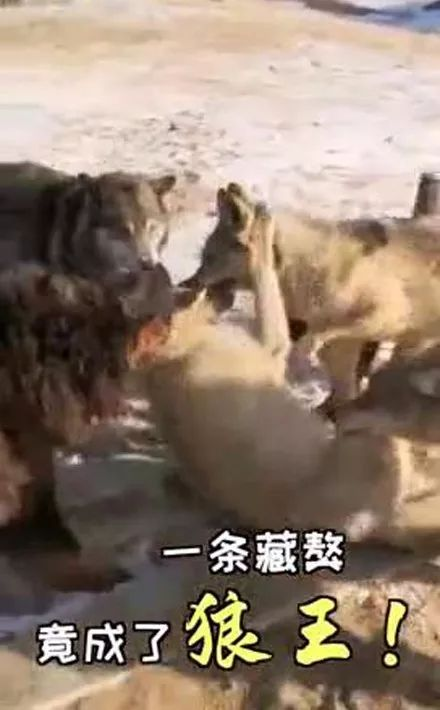 藏獒混入狼群,在里面生活一年后,它竟然混成了狼王!