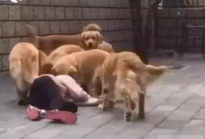 养了七只金毛的主人假装晕倒,金毛们的反应真的是惨不忍睹