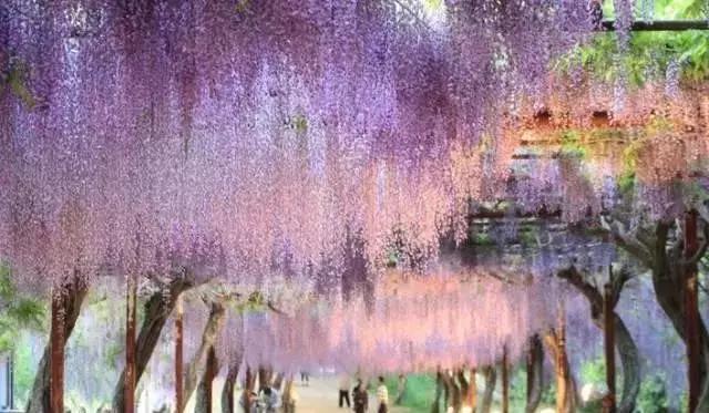 于是两人约定跳崖殉情在他们跳崖的地方,长出了一棵紫藤树,花紫色,依藤而存,彼此不能独自存活,这就代表了那对殉情的男女,生死相依,为爱而存.