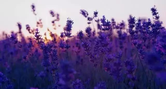 """每年的5-6月份   是薰衣草开的最盛的时候   彼时花开成海,碧空微醺   梅丽雅特薰衣草   它被誉为""""薰衣草中的母亲""""   其中以法国普罗旺斯村的最为出名"""