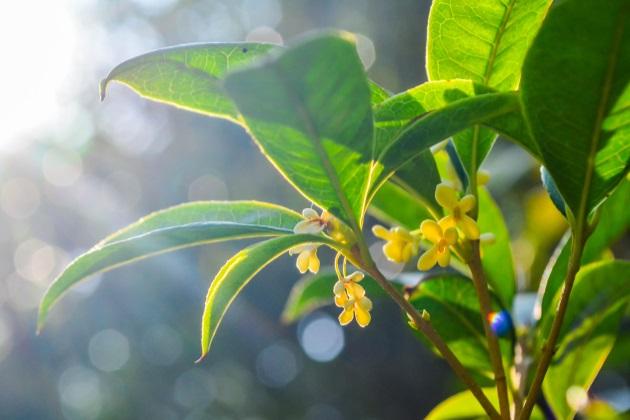 它是木犀属众多树木的习称,桂花的品种繁多,花色各异,在经过长期的图片