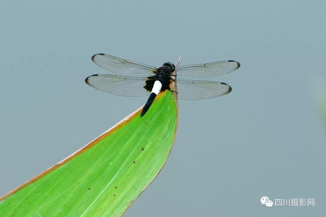 [荷花摄影大赛作品分享] 与世无争  2019荷花-荷塘小蜻蜓