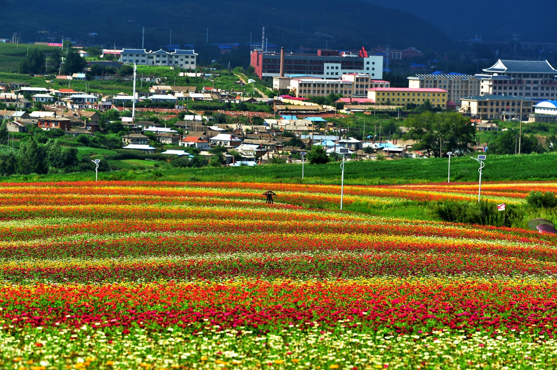 走进图们日光山花海,才知道花海背后就是朝鲜第一夫人的故乡