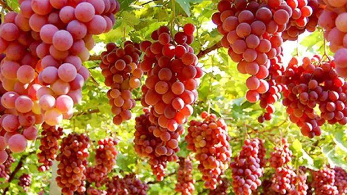 葡萄全身都是宝,但这种葡萄最好别吃!会挑会洗,才能吃好~