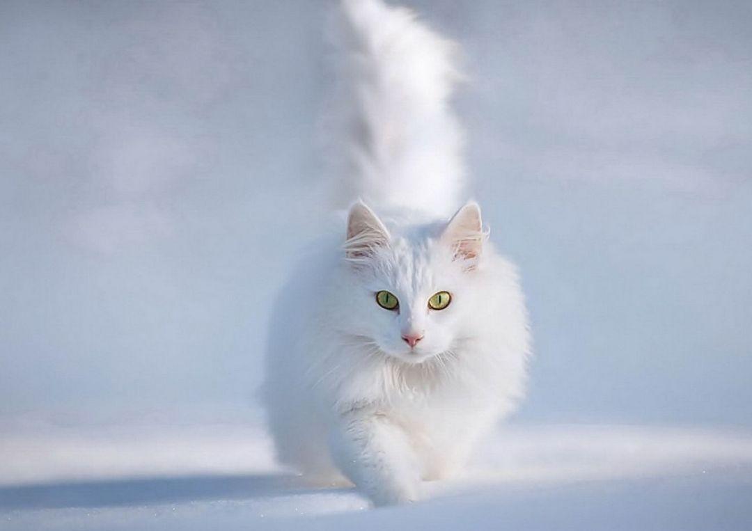 山东狮子猫图片黑白色