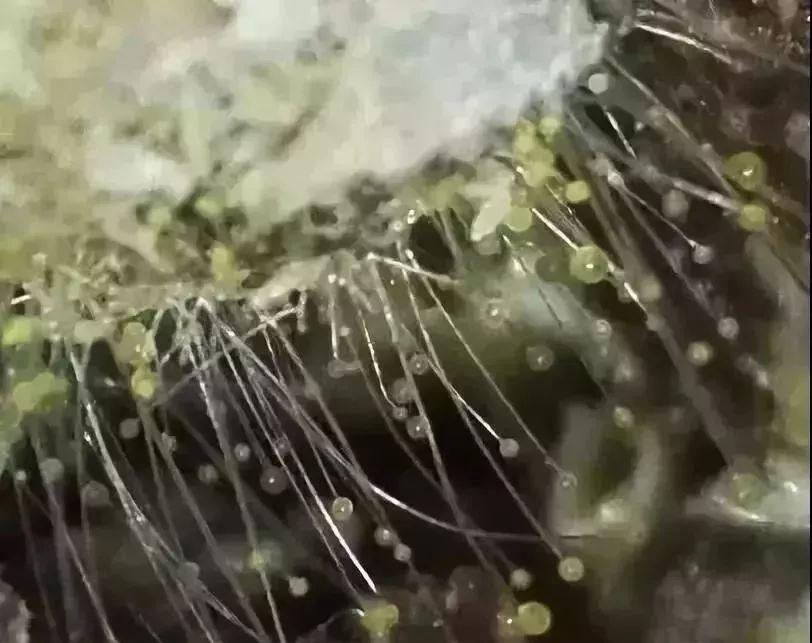 霉菌毒素对鸡的危害,已经远远的超出你的想象!