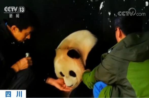 【环球网】四川卧龙国家级自然保护区:野外引种大熊猫产下双胞胎
