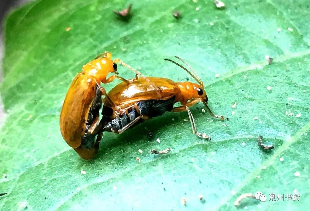 人肤蝇感染的皮肤图片