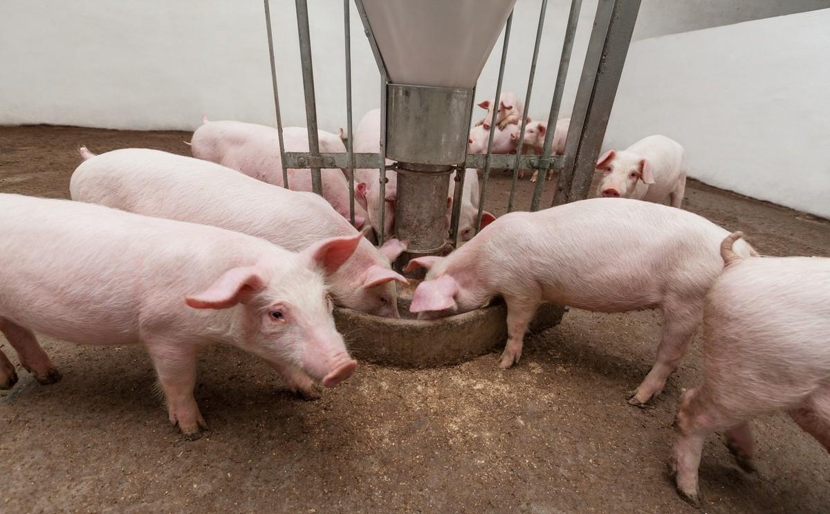 人口蹄疫_天气日渐转冷,口蹄疫防控养猪人一定要重视