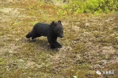 舍_真萌!熊孩子回归大自然三连拍 被救后还舍不得走