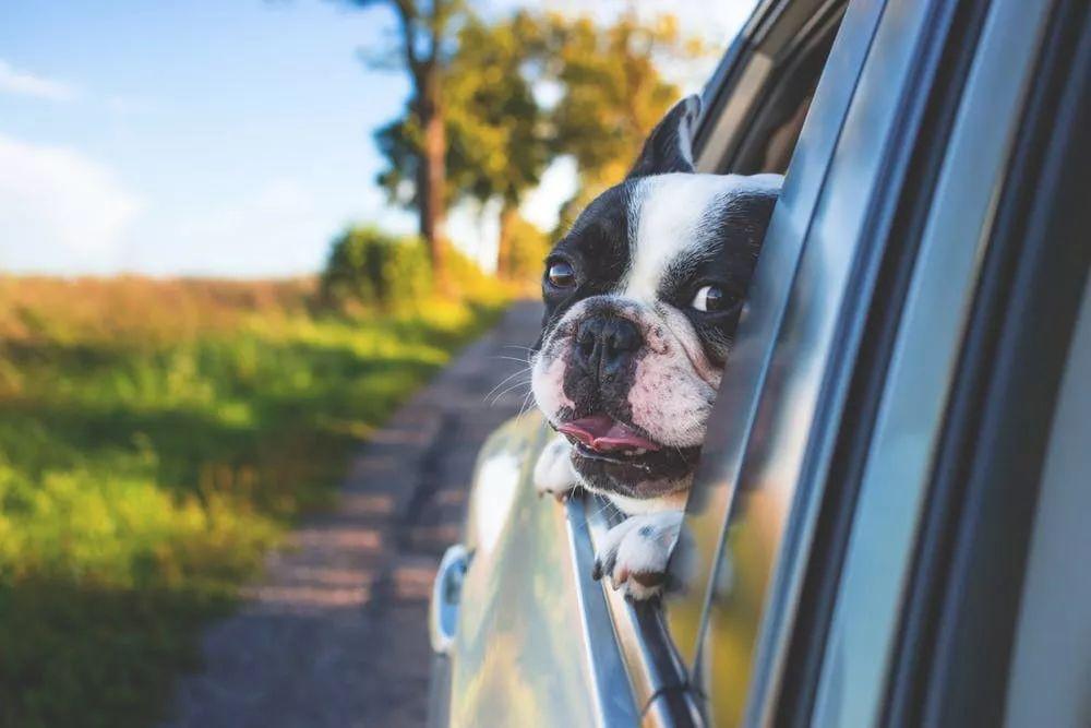 带狗狗兜风,没想到它竟然还会晕车!
