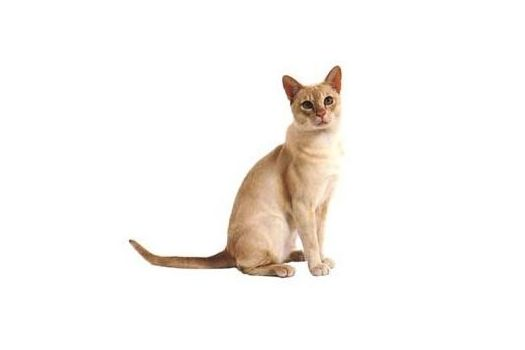 东奇尼猫和暹罗猫区别图片