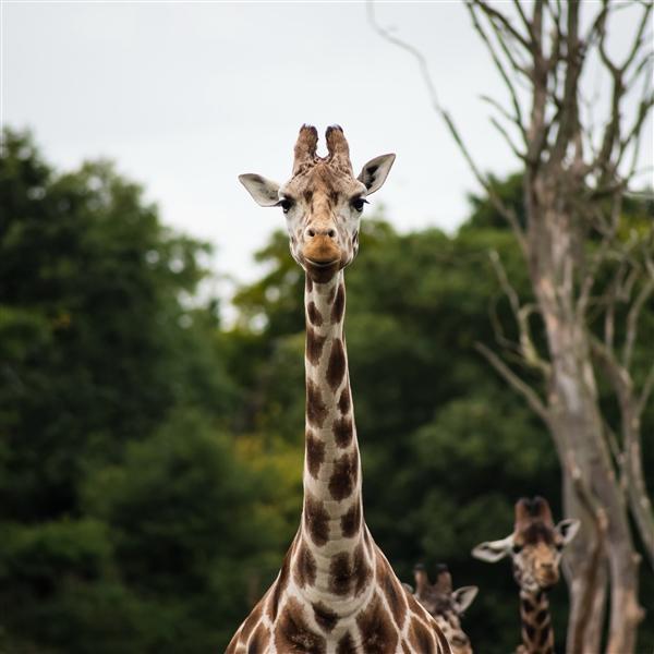 野生动物委员会第一次投票决定保护长颈鹿作为濒危物种