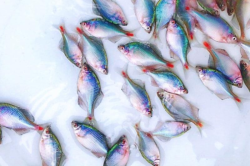 "<b>河里一种很苦的鱼,人称""屎光皮"",以前没人吃,现在成稀罕美食</b>"