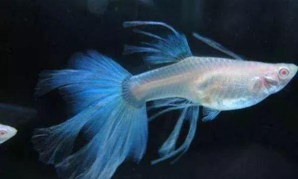 孔雀鱼怎么养不死,最经典的孔雀鱼饲养本领告