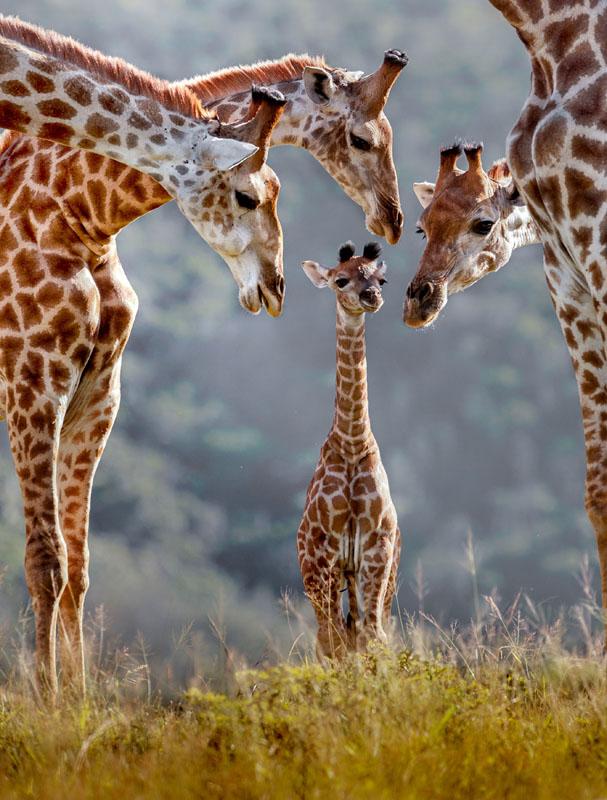 """长颈鹿被列为濒危物种 围观可甜可盐的""""长颈网红"""""""