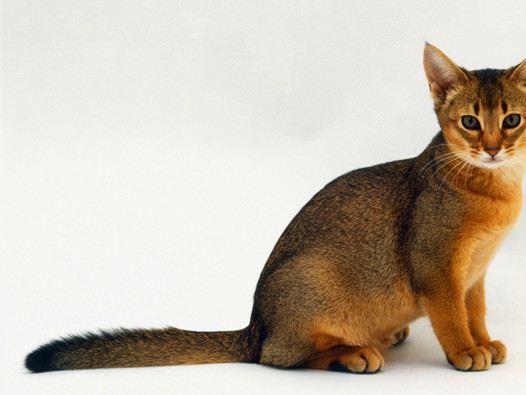 索马里猫多少钱一只图片