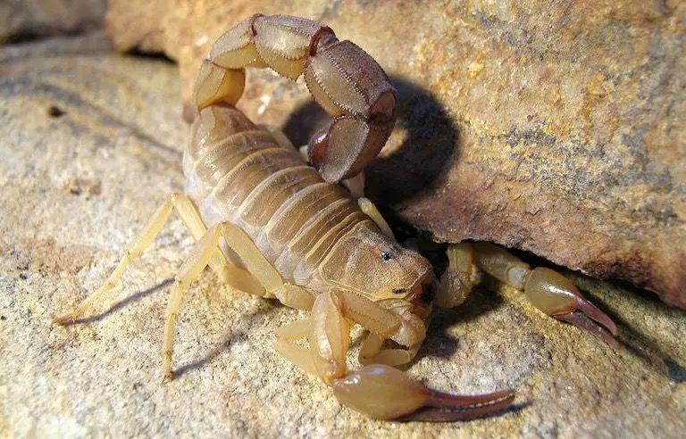 突尼斯黄肥尾蝎