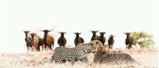 两只花豹本想找个清静地方交配,效果却引来一群野牛围观好尴尬