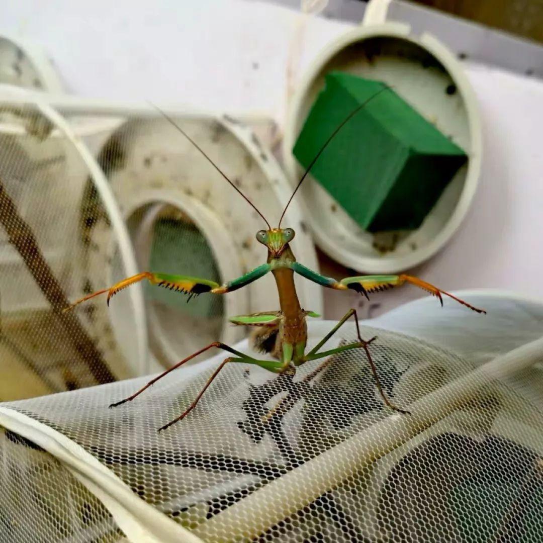 格里芬螳螂