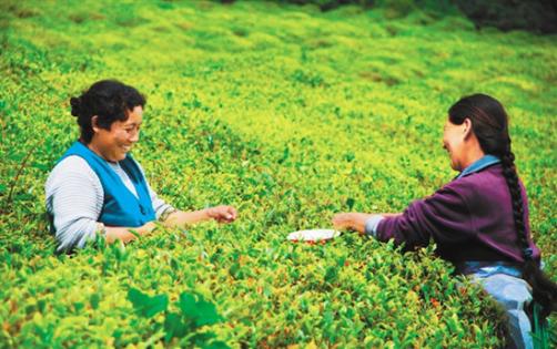 雪域窖茶——最纯美的高原文化