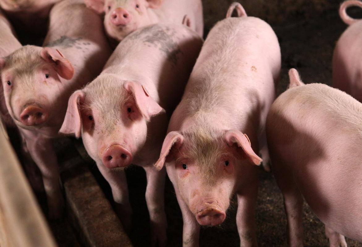 猪乙型脑炎的症状特征